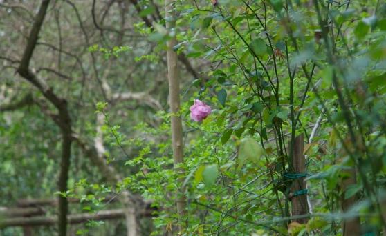 Alvisopoli e la rosa sopravvissuta
